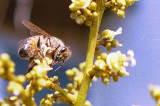 Lychee Flower Pollinat...